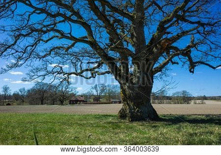 Big sprawling lonely tree without foliage on flat field under blue sky in spring in countryside near Vasteras, Sweden
