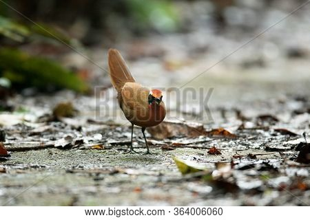 Rail-babbler Or Malaysian Rail-babbler (eupetes Macrocerus), Low Angle View, Front Shot, Foraging On