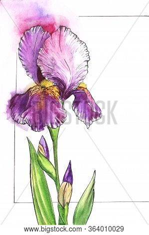 Watercolor Part Of Floral Frame For Text With Tender Iris On Left Side. White Background With Thin B