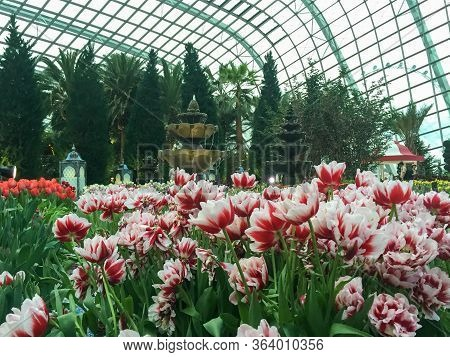 Singapore, Singapore : May 11,2016: Red And White Tulip Lily Flowers In Garden By The Bay, A Popular