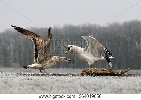The Caspian Gull (larus Cachinnans) Sitting On The Ground In The Winter. Fight Between Young And Adu