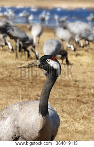 The Common Crane (grus Grus), Also Known As The Eurasian Crane. Portrait Of The Crane With Other In