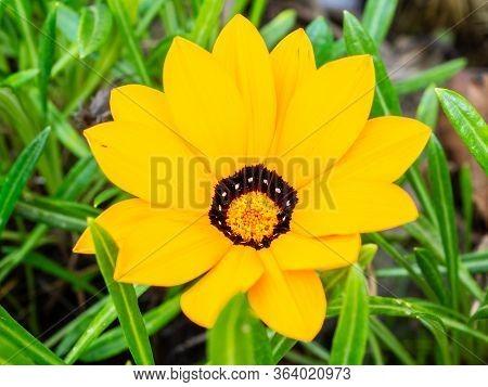 Yellow Gazania Flower Close Up In A Garden (gazania Linearis)