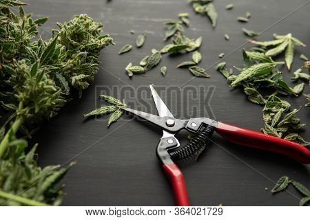 Trim Before Drying. Mans Hands Trimming Marijuana Bud. Growers Trim Their Pot Buds Before Drying.