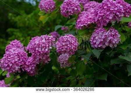Close-up Of Blooming Violet, Purple Hydrangea Hydrangea Macrophylla In A Garden. Hydrangea Bush. Flo