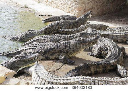 Crocodiles At A Crocodile Farm Are Awaiting Feeding. Feeding The Crocodiles. Crocodile Breeding. Cro