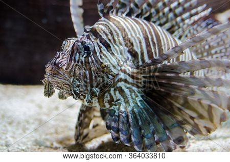 Lionfish Pterois Volitans In Aquarium, Also Known As A Turkeyfish