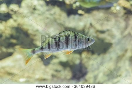 Perca Fluviatilis, Commonly Known As  Common Perch Or European Perch. Underwater Shot