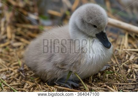 Photo Of A Lone Mute Swan Signet On The Nest