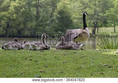 Photo Of A Female Canada Goose With Her Young
