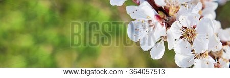 The First Spring Flowers, An Apricot Tree, Bloom In Bloom Against The Backdrop Of Spring Nature With