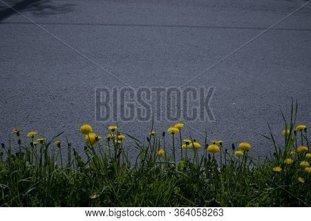 Yellow Flower Of A Dandelion Plant Taraxacum Officinale Aka Ordinary Dandelion Grows On A Ground. Th