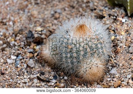 Notocactus Or Parodia Tenuicylindrica Is A Genus Of Flowering Plants In The Cactus Family Cactaceae,