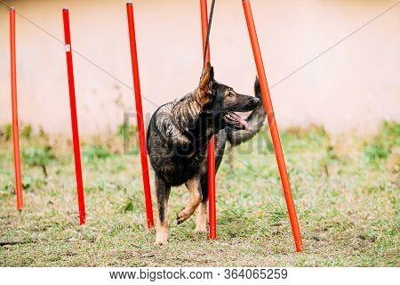 German Shepherd Dog Doing Agility - Running Slalom. Agility Slalom. Training Of Purebred Adult Alsat