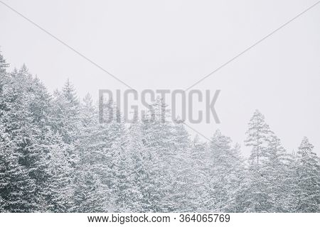 Pines And Spruces, Fir-trees Covered First Snow. Forest Growing On Rocky Slope Of Mountains. Winter