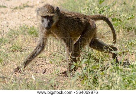 Vervet Monkey In The Natural Habitat Of The African Savannah Of Samburu Park In Central Kenya