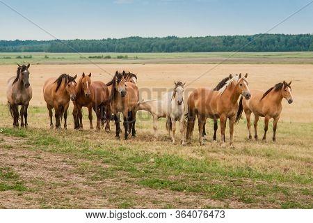 A Herd Of Wild Horses Run Across The Field. A Large Herd Of Beautiful Horses Gallops Across The Fiel
