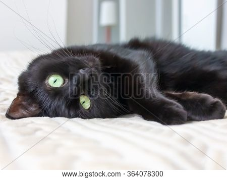 Playful Black Domestic Cat With Green Yellow Eyes Lies On A Coach