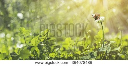 Panoramic View To Spring Background Art With White Clover Blossom And Fluttering Butterfly. Spring D
