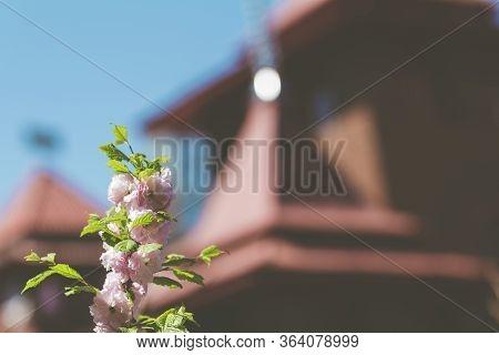 Closeup Of Pink Flower Clusters Of An Flowering Plum Or Flowering Almond In Full Bloom In Spring