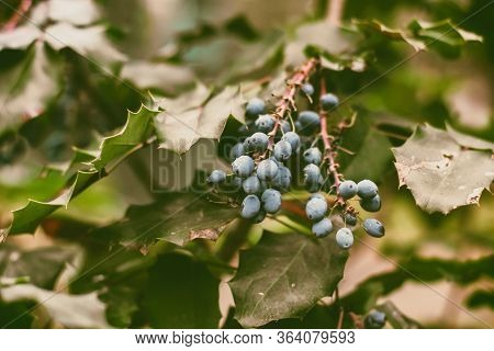 Mahonia Aquifolium. Blue Berries Are Hanging On A Mahonia Japonica Bush. Evergreen Shrubs. Blue Berr