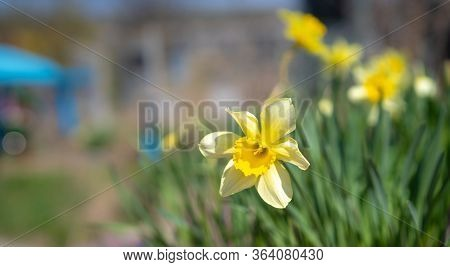 Blooming Daffodils Growing In The Ground.blooming Daffodils Growing In The Ground