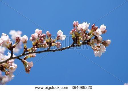 Junge Weiß Rosa Kirschblüten Vor Blauem Himmel