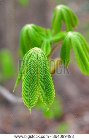 Junge Grüne Kastanien Blätter Im Laubwald In Den Isarauen In München