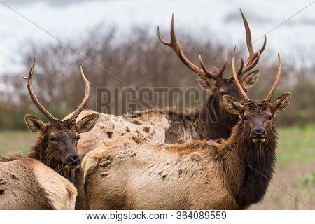 Elk At The Coast