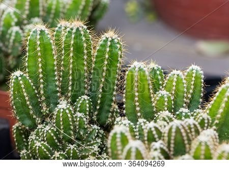 Thorny Potted Plants, Desert Plants, Various Cacti