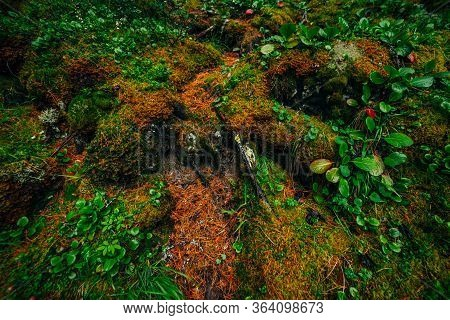 Beautiful Taiga Background With Rich Flora On Mossy Slope. Green Red Leaves Of Bergenia Crassifolia