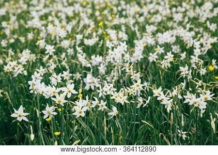 Close Up Of Flowering Wild Narrow Leaf Narcissus In Natural Lowland Habitat. Famous Narcissus Valley