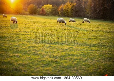 Sheep grazing on lush green pastures in warm evening light