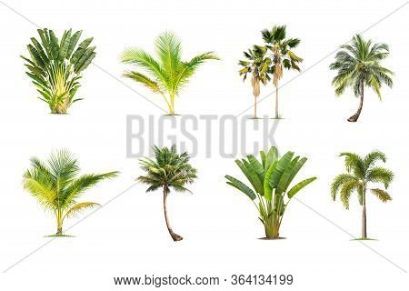 Coconut And Palm Trees Isolated Tree On White Background , The Collection Of Trees.large Trees Are G