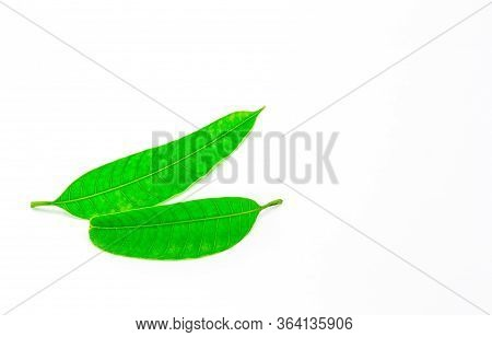 Green Leaves, Leaves Of Mango Isolated On White Background.