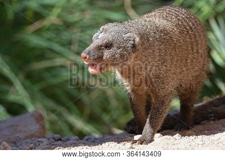 The Egyptian Mongoose (herpestes Ichneumon), Also Known As Ichneumon, Is A Mongoose Species Native T