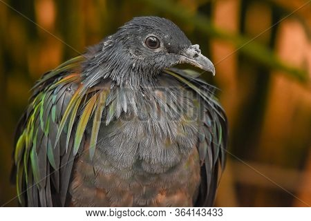 A Close Up Of A Nicobar Pigeon (dove) (caloenas Nicobarica) With A View Of Beautiful Glossy Green An