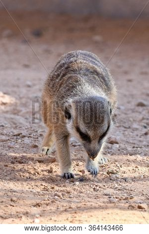 A Meerkat Walks And Digs In The Dirt In The Desert (suricata Suricatta).