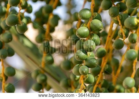 Dates Close Up Growing On A Tree In The Middle East - United Arab Emirates Or Saudi Arabia.
