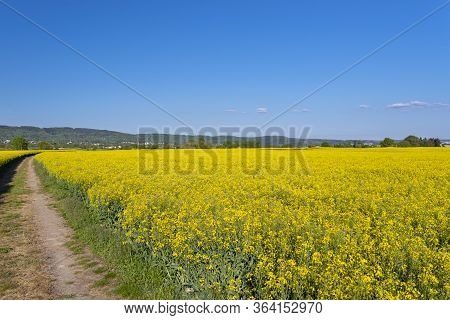 Ripening Oilseed Rape In A Field In Western Germany, Dirt Road Visible, Blue Sky In The Background,