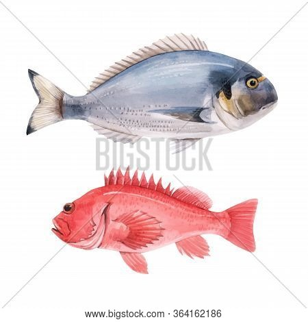 Beautiful Vector Stock Illustration With Watercolor Hand Drawn Sea Bass And Dorado Fish.
