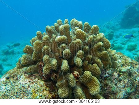 Cauliflower Coral, Pocillopora Species In The Coral Reefs