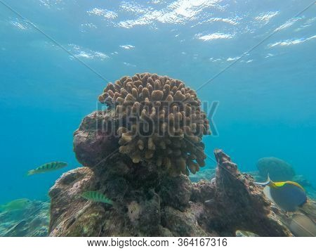 Brown Coral Colony And Reef Fish In The Coral Reef