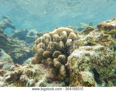 Cauliflower Coral, Pocillopora Species Under The Deep Blue Sea