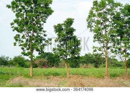 Outstanding Group Of Trees Grow In The Field And Isolated On Clear Sky Background