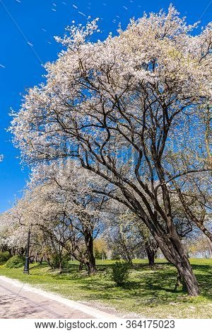 Beautiful Cherry Trees Blossoms At Early Spring Against Blue Sky. City Park Landscape