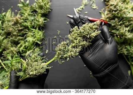 The Sugar Leaves On Buds. Growers Trim Cannabis Buds. Harvest Weed Time Has Come. Trim Before Drying