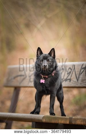 Autumn Portrait Of Schipperke Puppy On Brench. She Is So Cute Animal With Very Nice Face.