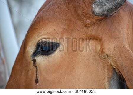 Cow Eye With Tears, Close Up Of A Cow Eye With Long Lashes And Crying Or Weeping Eye Duct.tears Of T