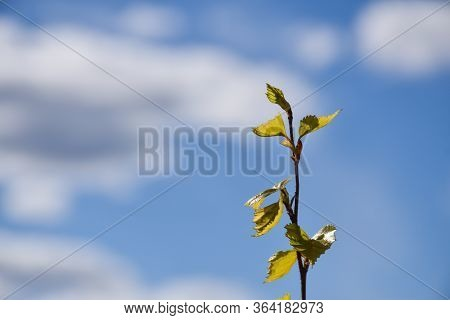 Springtime With New Birch Leaves On A Twig By A Blue Sky
